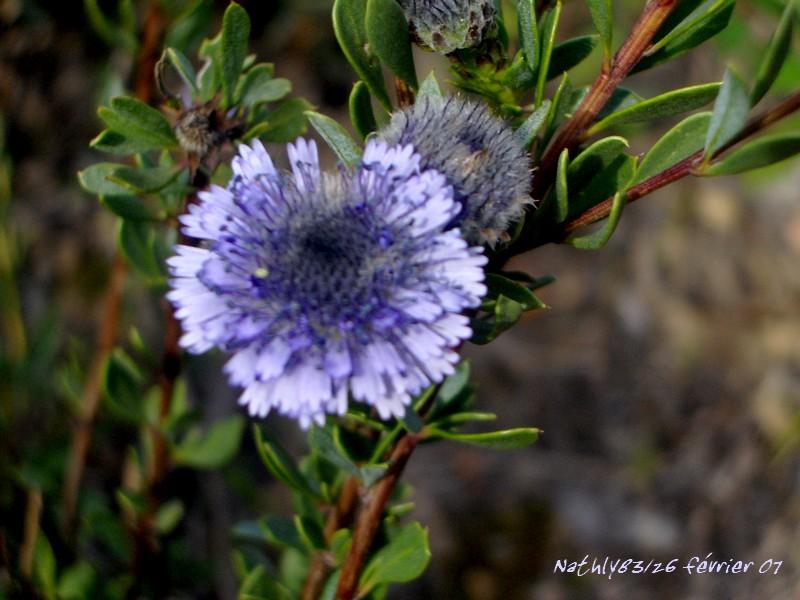 Fleur Bleue dans Fleurs sauvages 0703100748024291379343
