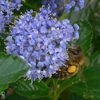 La fin des abeilles aurait-elle sonné ?