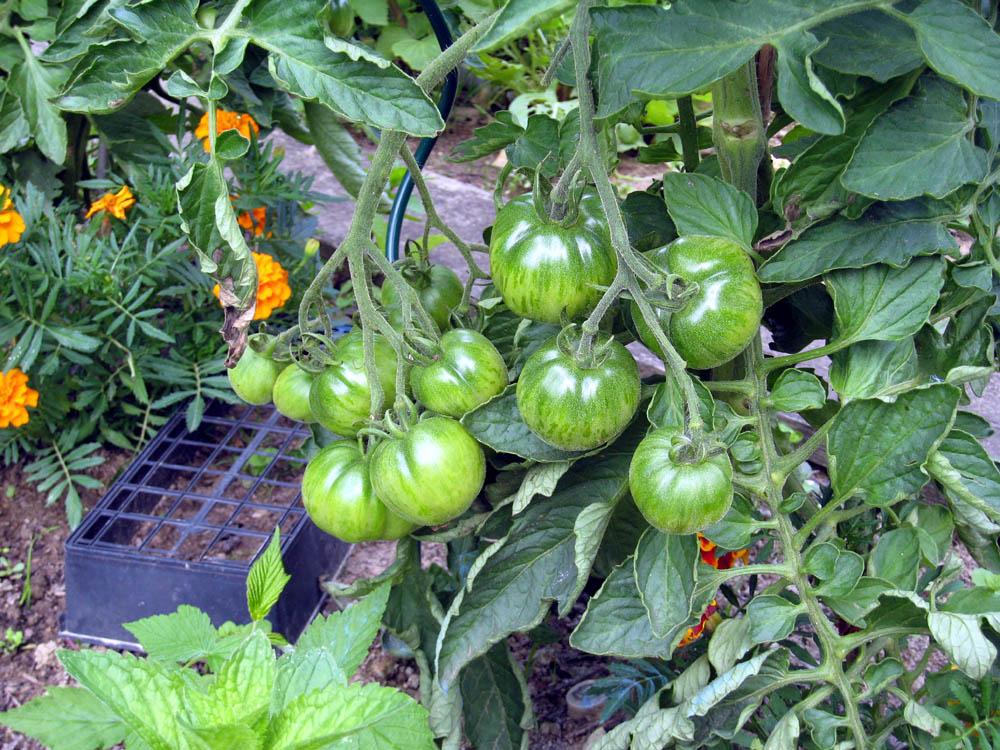 Mes tomates 2007 - suivi de culture 0706220138333950740321