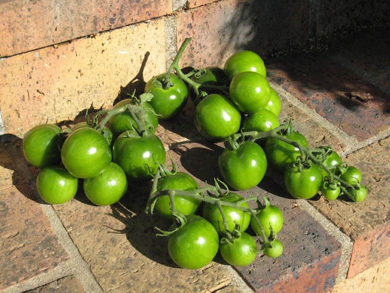 Mes tomates 2007 - suivi de culture 0707041102279673808166