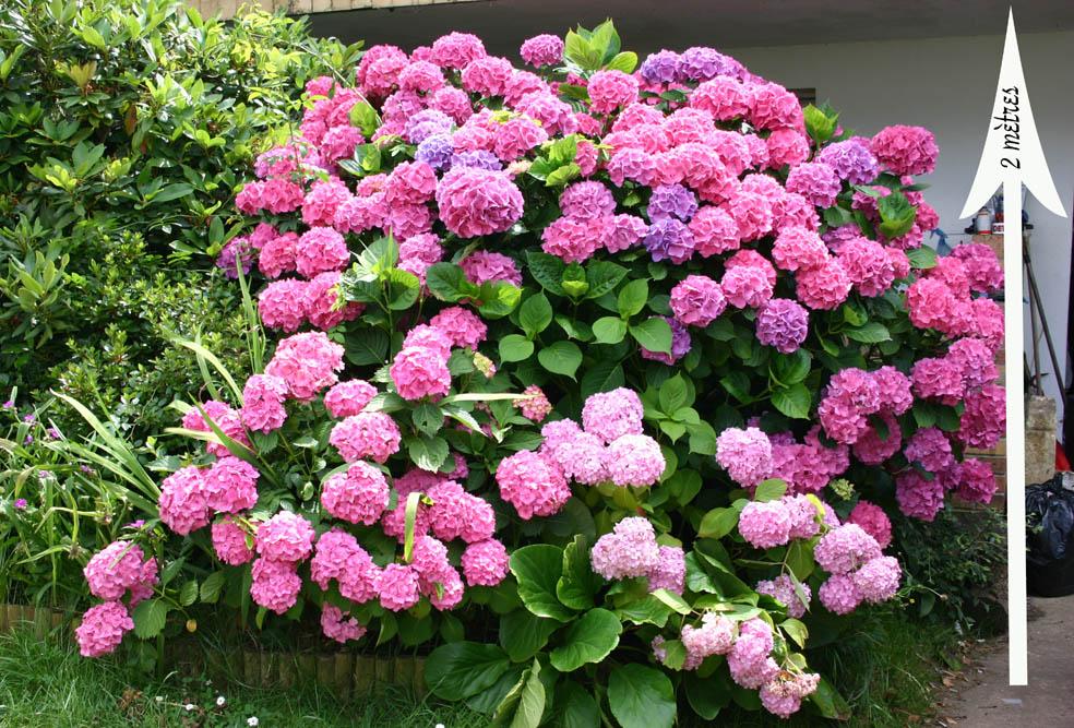 Gros hortensia rose 0707070226169673820009