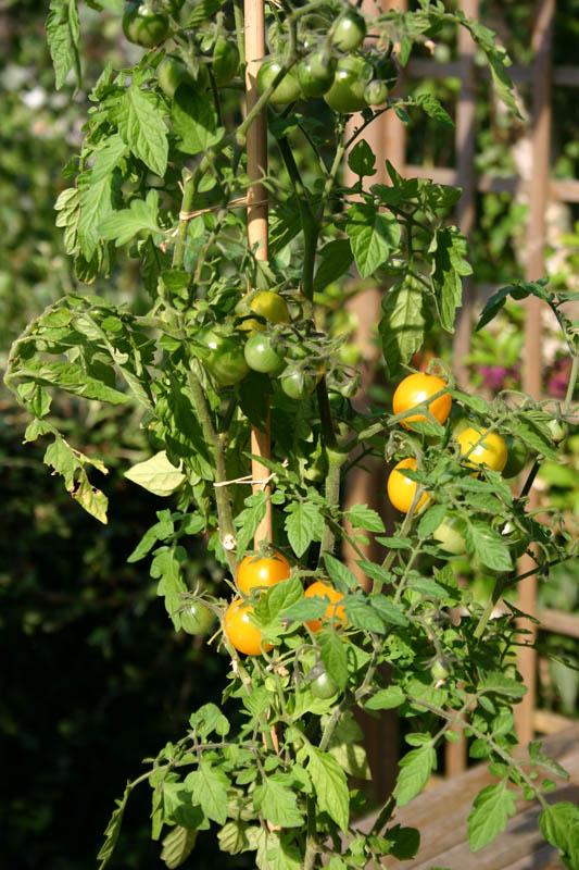Mes tomates 2007 - suivi de culture 0707140351049673855421