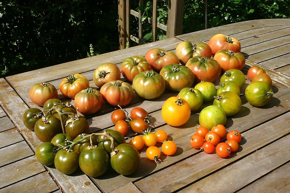 Mes tomates 2007 - suivi de culture 0707230231469673901853