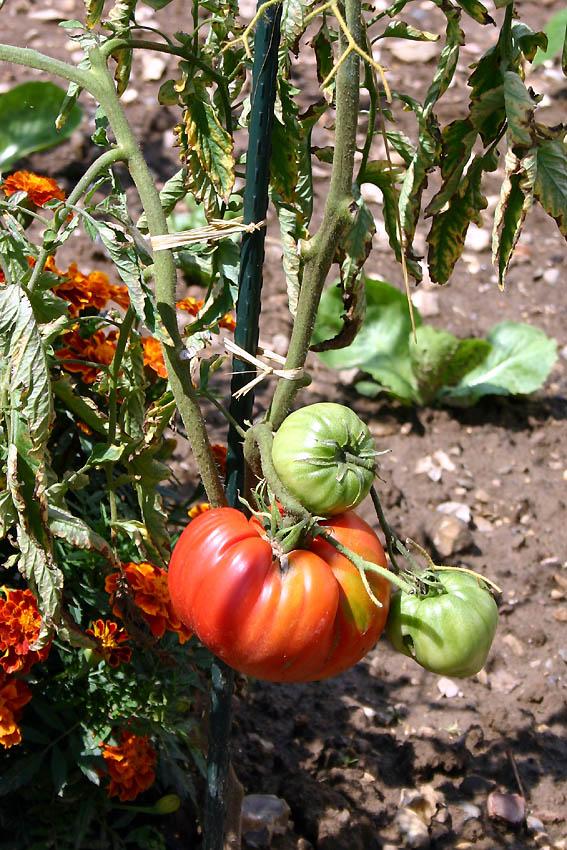 Mes tomates 2007 - suivi de culture 0707250847149673911833