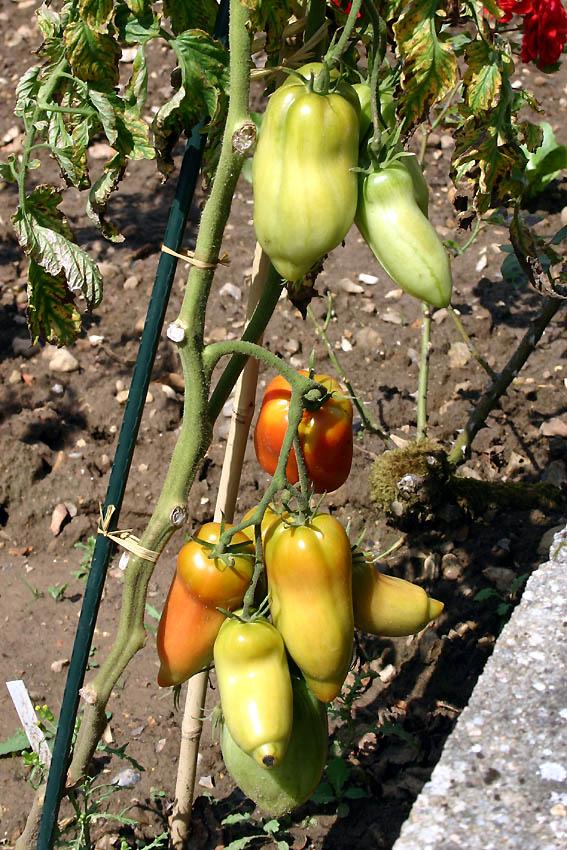 Mes tomates 2007 - suivi de culture 0707250847309673911834