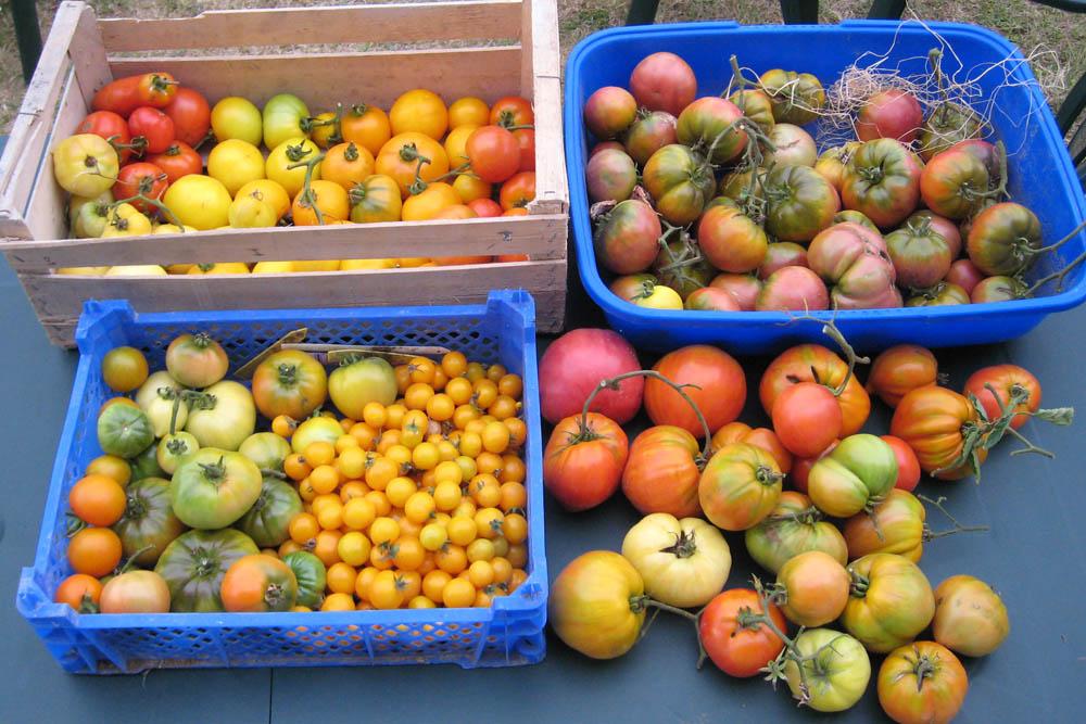 Mes tomates 2007 - suivi de culture 0708070914519673972181