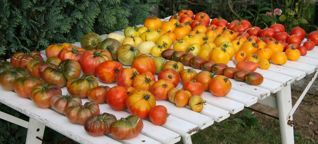 Mes tomates 2007 - suivi de culture 07083003290496731118545