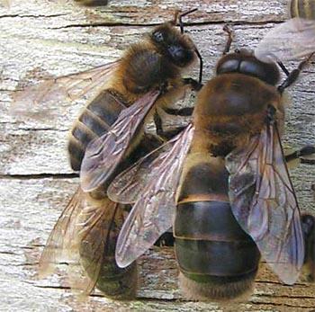 Les abeilles ne vont pas bien