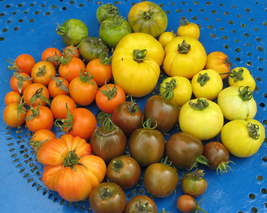 Mes tomates 2007 - suivi de culture 07091709115096731248436