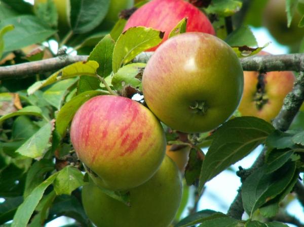 Pas chers, les fruits de mon blog ! Achetez les fruits de mon blog ! Allez allez ! On ne fait pas les timides et on vient croquer mes belles pommes !