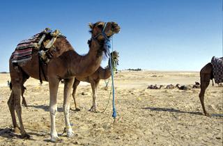 Fais bon usage de ta langue, si tu veux garder tous tes chameaux !