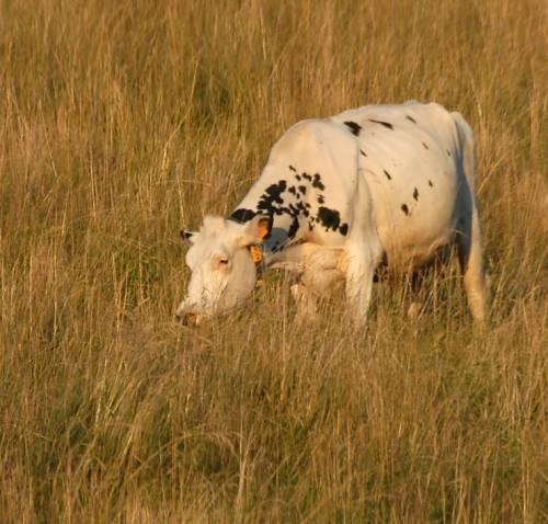 Vaches espagnoles ?