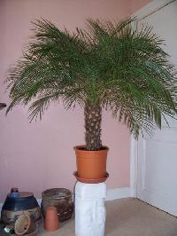 Pourriez-vous m'aidez à identifier ce palmier Mini_070618045319720586
