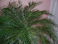 Pourriez-vous m'aidez à identifier ce palmier Mini_070618045946720643