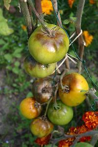 Mes tomates 2007 - suivi de culture Mini_0707140350239673855419